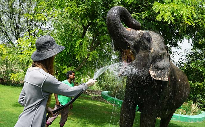 elephant drinking water from hose