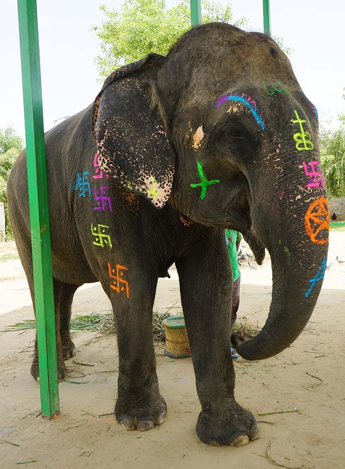 rainbow painted elephant festival india
