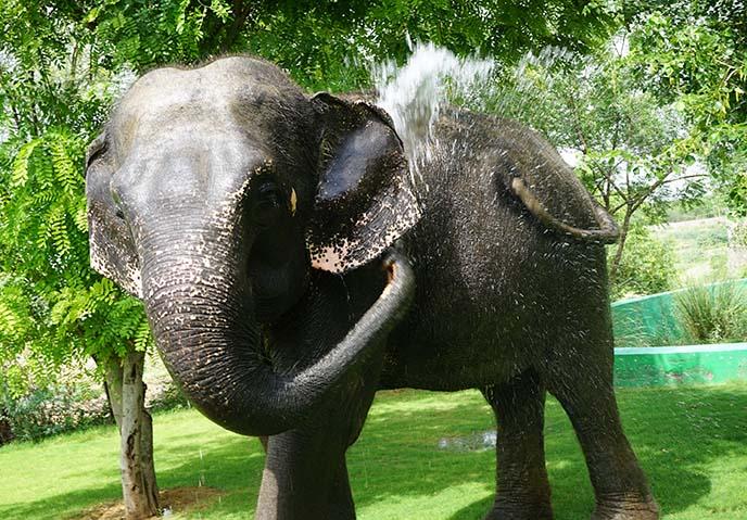 bathing washing elephants india