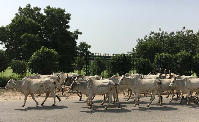 holy cows crossing road india