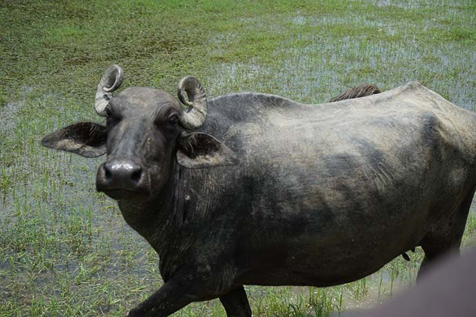 water buffalo india