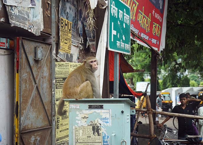 wild monkey in benares, india