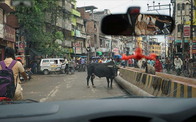 holy cows in streets varanasi india