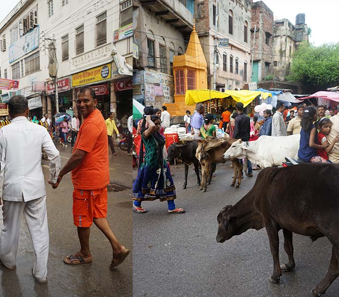 cows in streets benares kashi