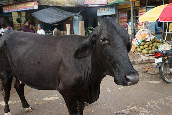 cows, pollution dirt in india
