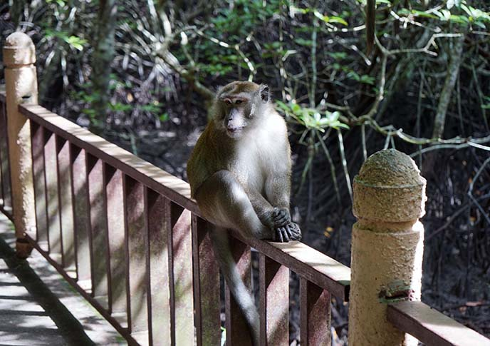 malaysia long tailed macaque