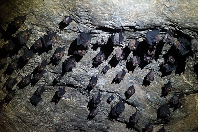 malaysia bats hanging in cave
