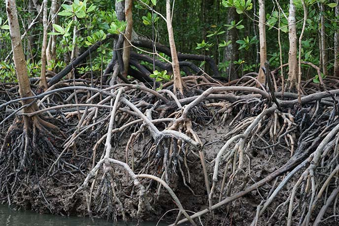 mangroves branches roots