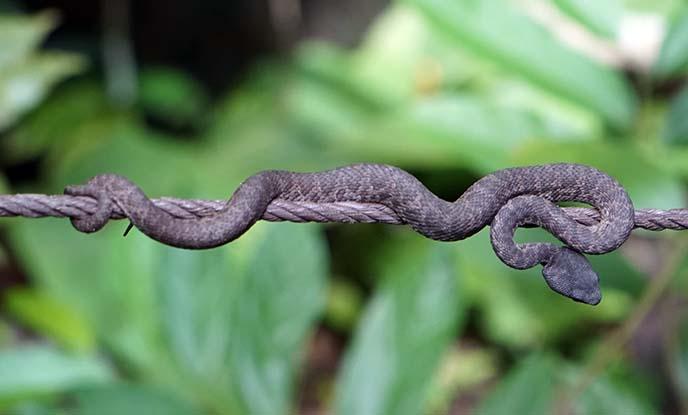viper snake malaysia