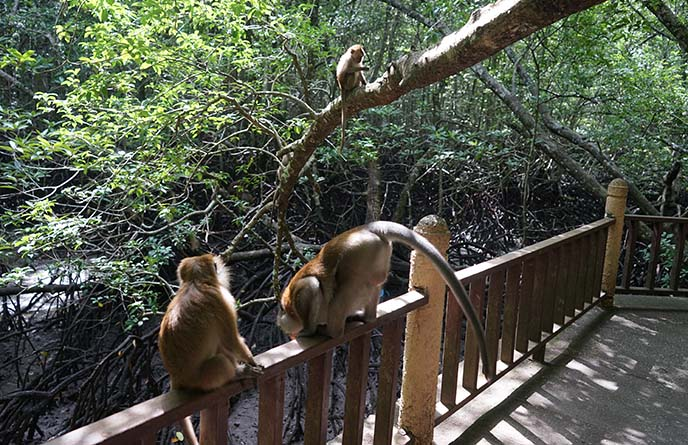 langkawi wild monkeys