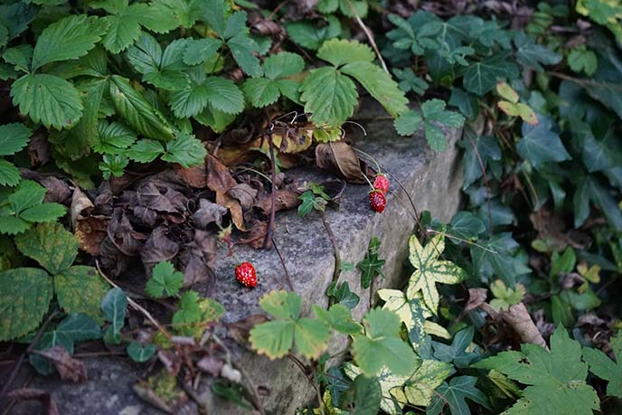 wild strawberries britain