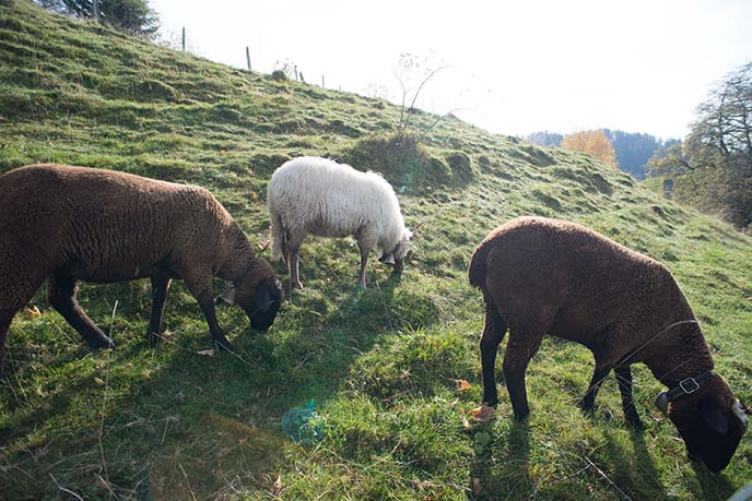 swiss sheep grazing