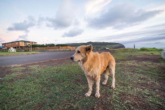 easter island dogs