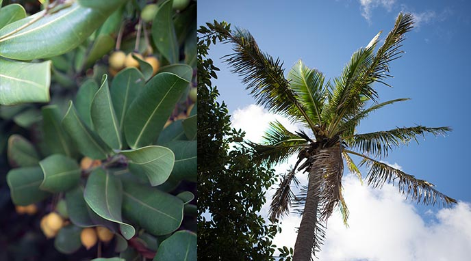 easter island weird fruits trees