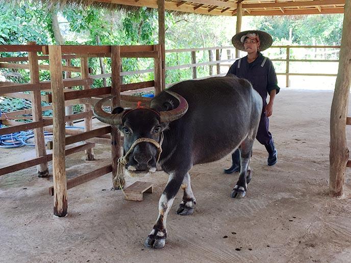 buffalo milking feeding dairy laos