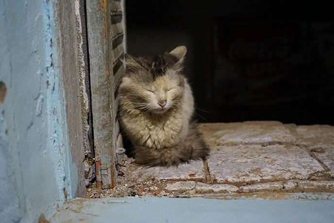 egyptian cat cats