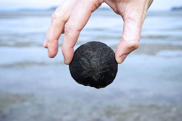 black sand dollar shell