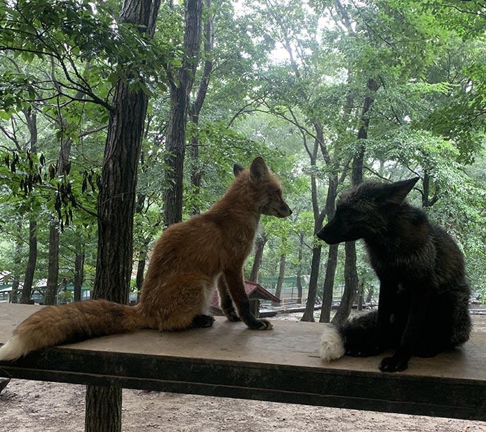 visiting japan zaoo fox village