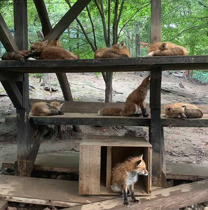 japanese foxes village tourist attraction