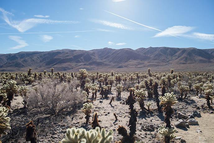 Cholla Cactus Garden cacti