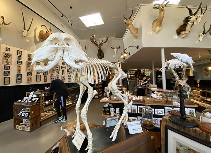 portland paxton gate two headed skeleton taxidermy