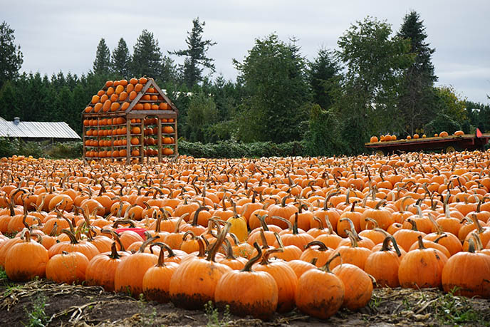 metro vancouver pumpkin patches farms corn mazes