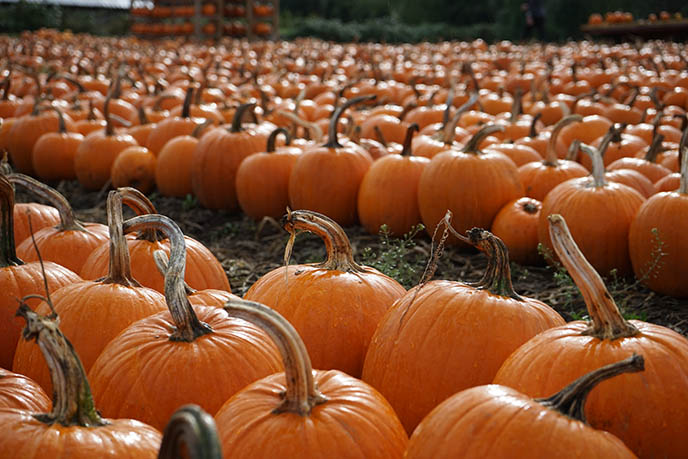 vancouver best pumpkin patches pick pumpkin travel guide