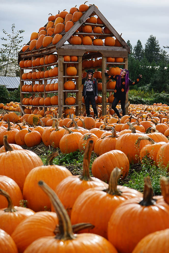 pumpkins field, abbotsford maan farms bc