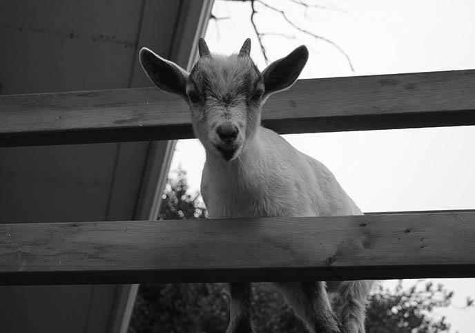 satanic goat petting zoo barn goats