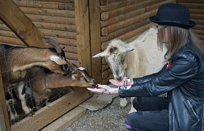 vancouver maan farms petting zoo goats