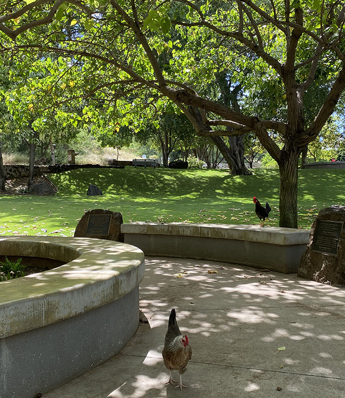 honolulu roosters diamond head chickens