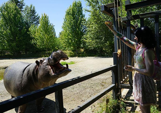 feed hippos apples hippopotamus feeding zoo