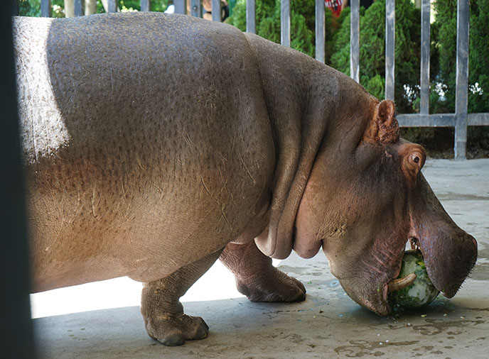 hippopotamus eating melon watermelon hippo chewing