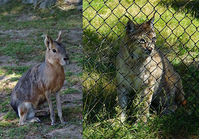 vancouver zoos reviews mara lynx