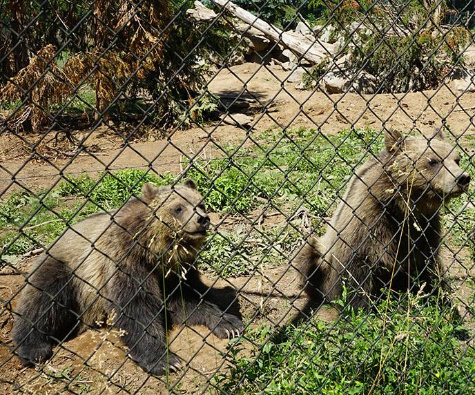 brown bears vancouver zoo gvzoo