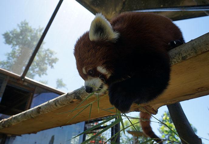 red panda eating bamboo cute
