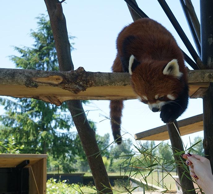 red panda eating food fruit on stick