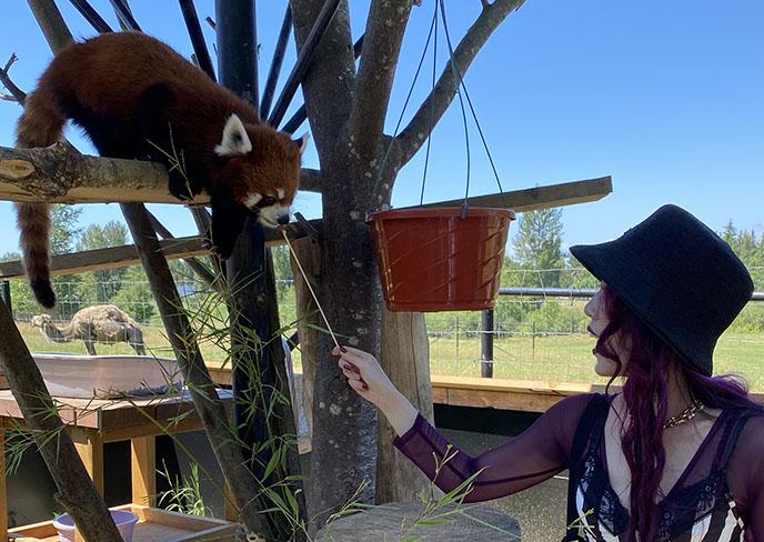 feeding red pandas experience animal encounters