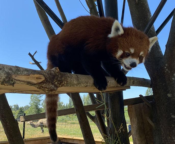 smiling happy face red panda