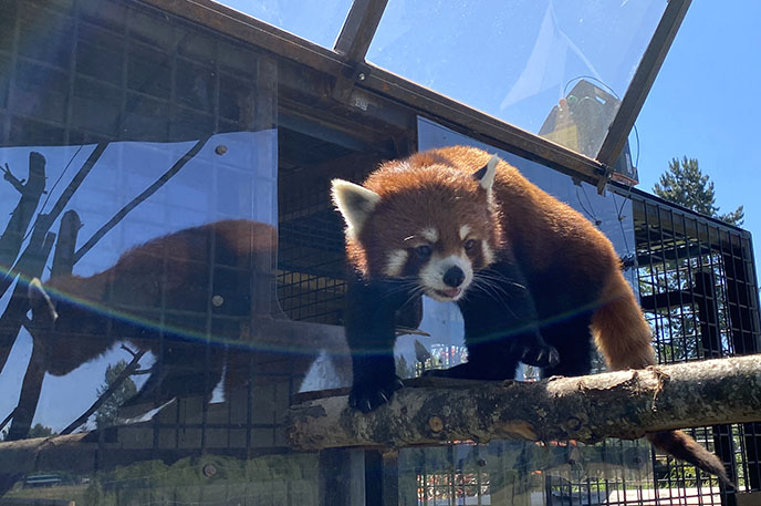 feed red pandas interaction greater vancouver zoo langley