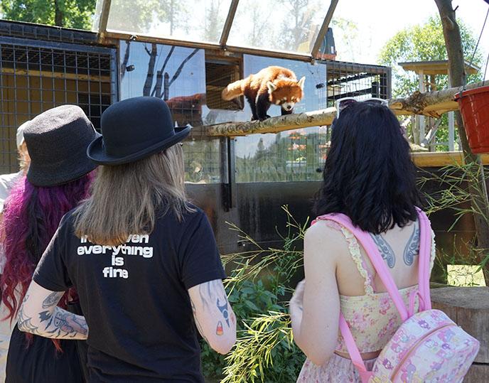 interact with red panda feed pandas zoo