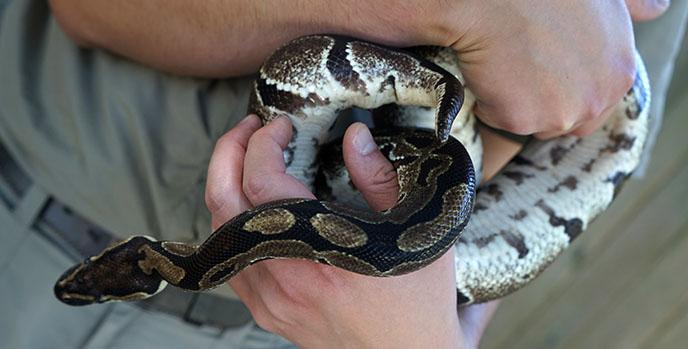 ball python snake pattern holding snakes
