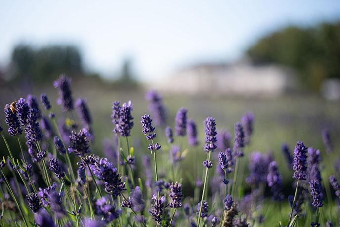 vancouver lavender field farm flowers purple