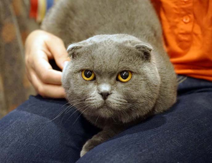 scottish fold cat lost in cargo