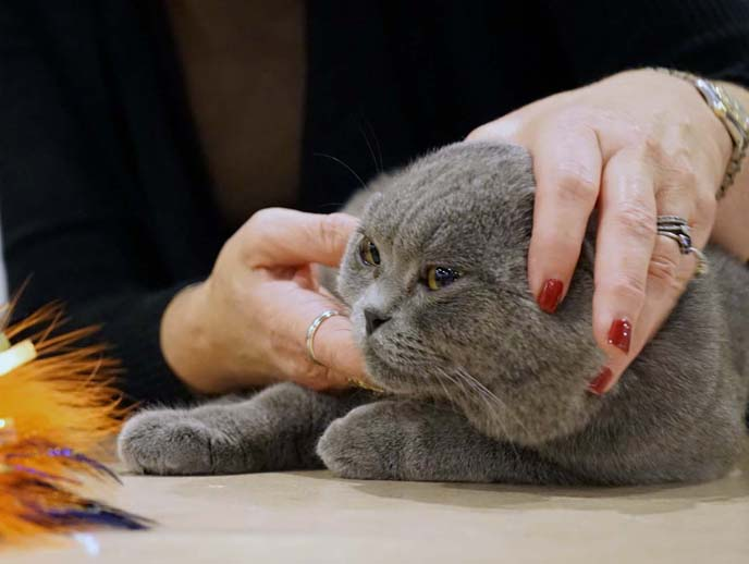 show winners, scottish fold kittens