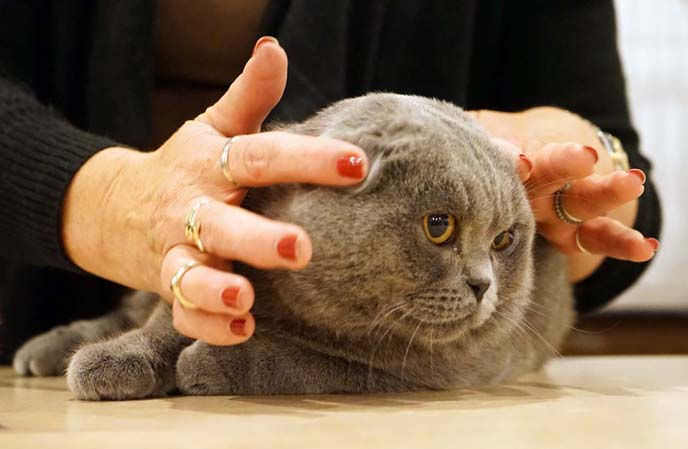 grey baby scottish fold cat