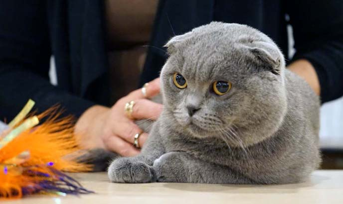 montreal airport lost scottish fold cat