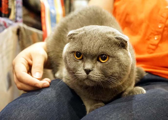 folded ears scottish fold cat