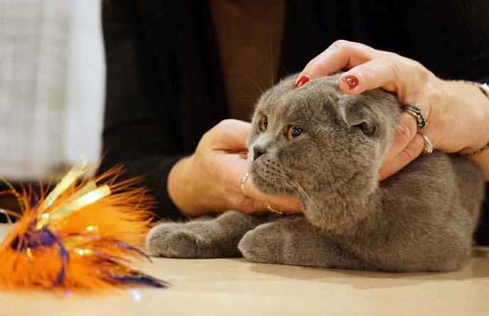 scottish fold cat show judging